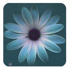 Daisy-azure-till
