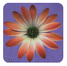 Daisy-coral-purple