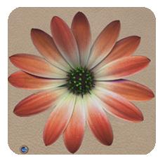 Daisy-coral-shell