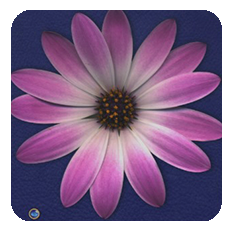 Daisy-pink-blue