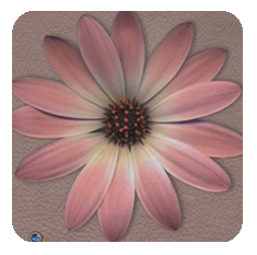 Daisy-pink-taupe