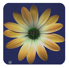 Daisy-yellow-blue