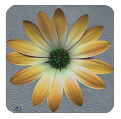 Daisy-yellow-grey